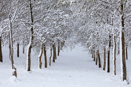 forest covered with snow in winter