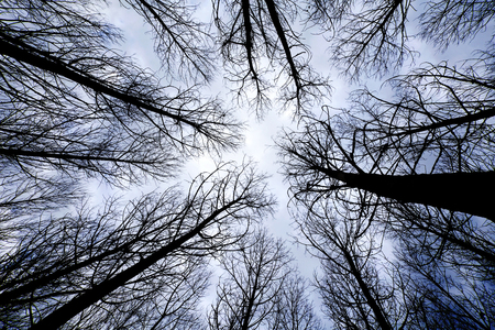 directly below: trees in a forest at sunrise view from below Stock Photo