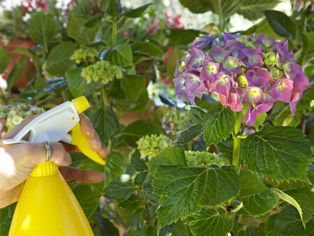 watering a pink hydrangea with a spray container