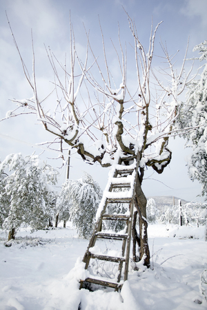 ladder leaning against an olive tree in the snow