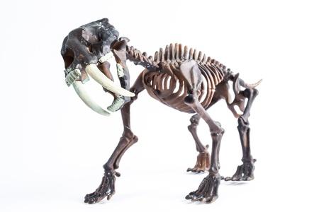 saber-toothed tiger skeleton Stockfoto