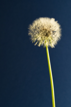 taraxacum: Taraxacum officinale ready to blow Stock Photo