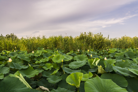Lotus flowers on river Mincio_Italy_ during a sunny day.