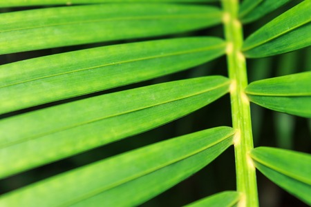 chlorophyl: Green leaves of tropical palm tree. Close distance shot. Stock Photo