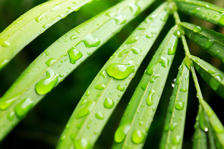 chlorophyll: Water droplets on wet green leaves of tropical palm tree. Close distance shot. Stock Photo