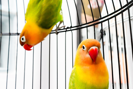 lovebirds: Couple of beautiful colorful Lovebirds in the bird cage.