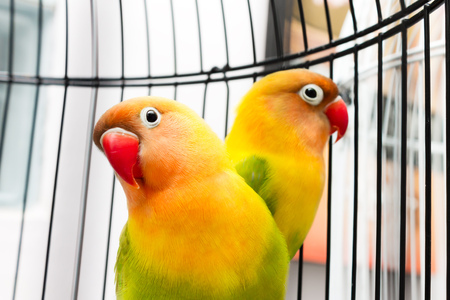 Couple of beautiful colorful Lovebirds in the bird cage.