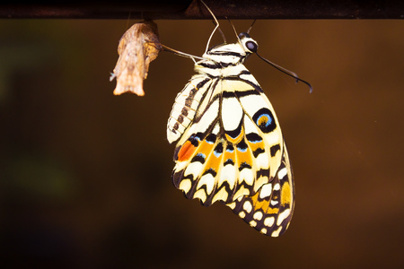 New butterfly hangs just after exits from its cocoon in the end of its transformation from the caterpillar.