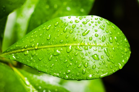 Water droplets on the surface of green leaf.
