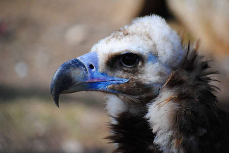 griffon: griffon vulture portrait in profile