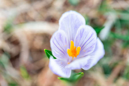 Fresh bloomed wild crocus flower in the spring time. Seasonal flower. Spring flower. Easter flower.