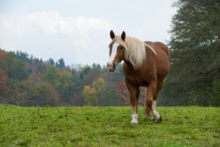 flaxen: Flaxen Chestnut Mare in a Fall Field Stock Photo