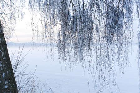Snow Laden Birch Limbs photo