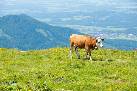 ranging: A free ranging dairy cow grazes in a high Alpine meadow.