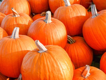 Fall Pumpkins for sale in a sunny field. Stock Photo