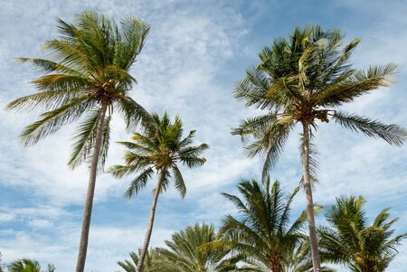 swaying: Palm trees swaying in a gentle Caribbean breeze.