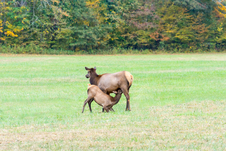 mother and baby deer: An Elk Cow Patiently Waits as its Young Nurses