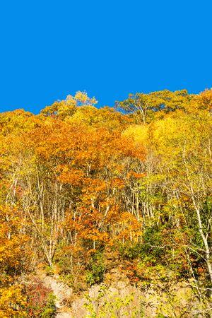 Brilliant Fall Trees on a Mountain Hillside II