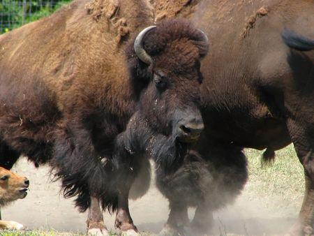 A buffalo kicks up some dirt.