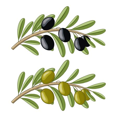 Two olive branches with black and green fruits Illustration