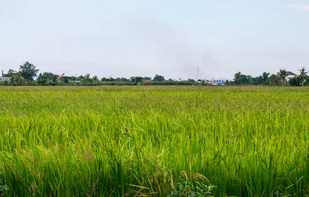 paddy field and white sky ,outdoors shoot photo