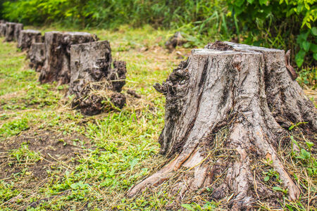Stumps of felled and drying photo