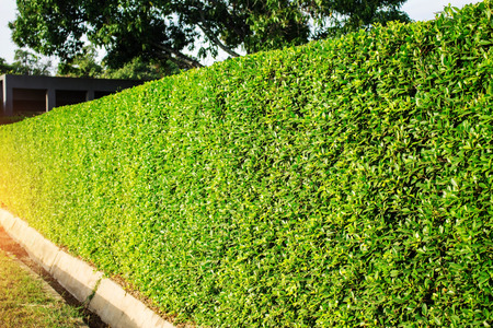 Ornamental hedges in the park.