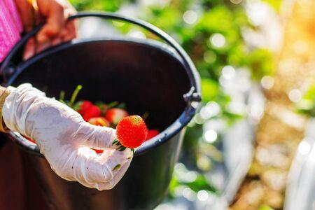 Strawberries red in the hands of gardeners.