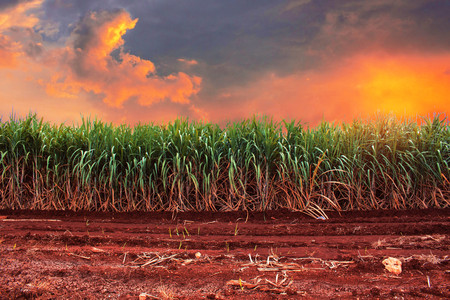 Sugarcane on fields with the golden sky. Stock Photo