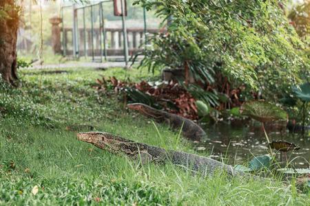 lizard in field: reptile that lives in a pond of park. Foto de archivo