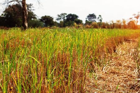 discolored: The rice grains in a field with clear skies during the day. Stock Photo