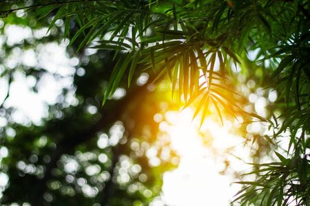 Bamboo leaves with sunlight at the sky.