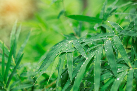 shinning: Drops on bamboo leaves and the wet after rain.