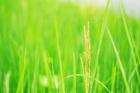 Rice with a green on the field. Stock Photo
