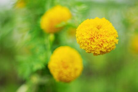 Marigold with beautiful on the background blurred. Stock Photo
