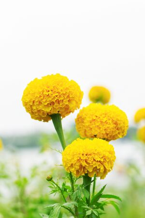 Marigold flowers in the garden with white background.