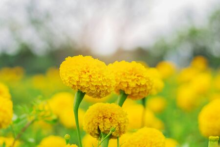 Marigold flowers with the beauty of nature.