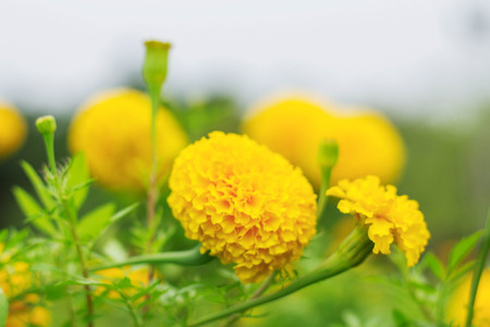 Marigold flowers with beautiful blur images.