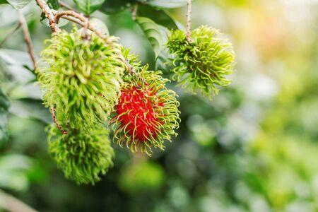Rambutan growing on trees with the sunshines.