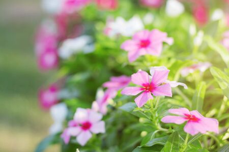 Pink flowers with beautiful in the garden.