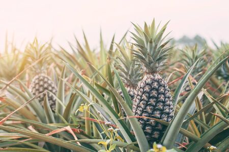 Pineapple on the farm at sunlight. Standard-Bild