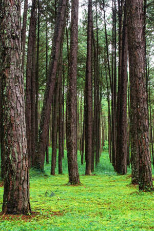 pine plantation with green nature in rainy season stock photo