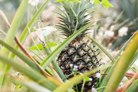 pineapple at the farm of countryside.