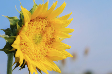 Sunflower with colorful at the blue sky. Stock Photo