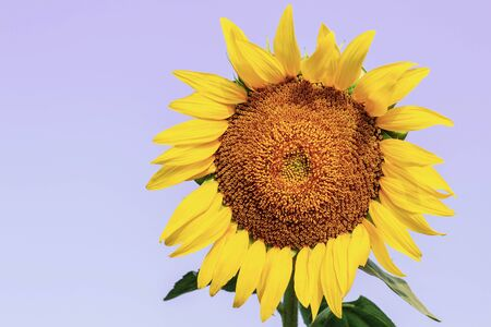 Sunflower with colorful at the sky.