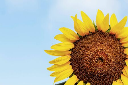 Sunflower with beautiful colors on the sky. Stock Photo