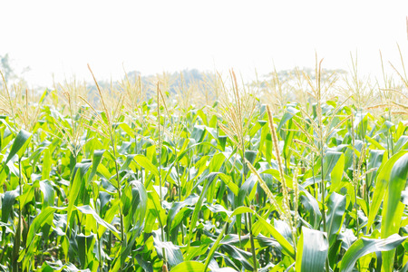 Planting corn in the field with sky. Stock Photo