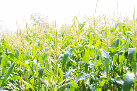 Corn farm on the field with sunlight. Stock Photo