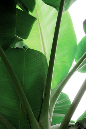 Leaves of banana on tree with the sunlight at sky. Reklamní fotografie