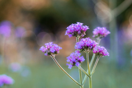 Purple flower with sunset in the garden. Stock Photo